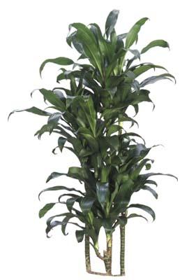 Low Light Indoor Trees Low Light Indoor Plants Dracaena