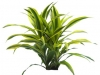 Dracaena  Green Stripe