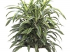 Dracaena  Warneckii  lemon lime bush