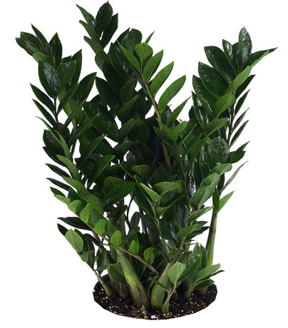 Low light indoor plants - Low light indoor house plants ...